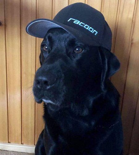 sediaci čierny labrador so šiltovkou racoon na hlave